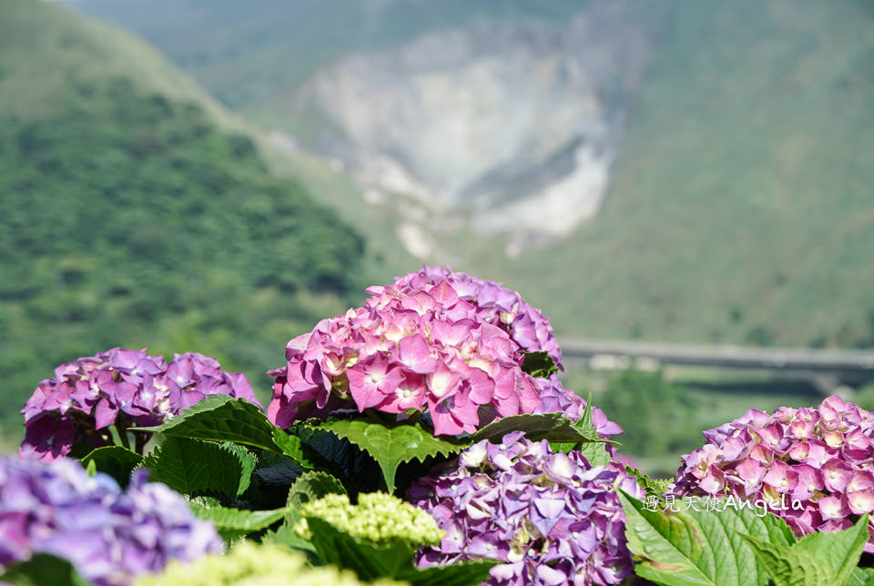 陽明山繡球花季