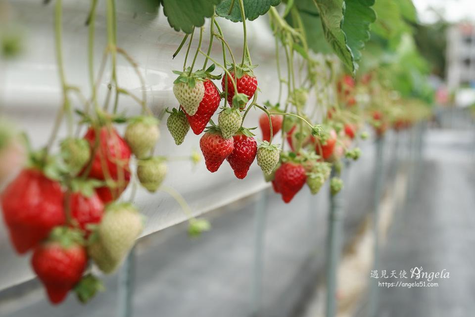 大湖草莓高架草莓