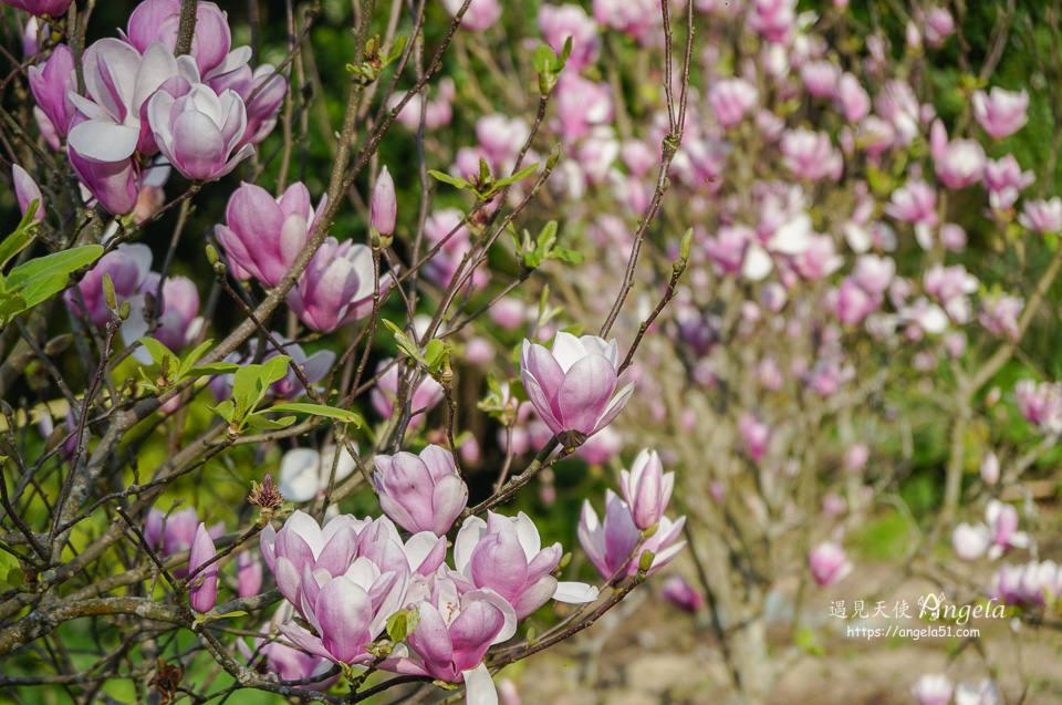 淡水楓樹湖木蘭花