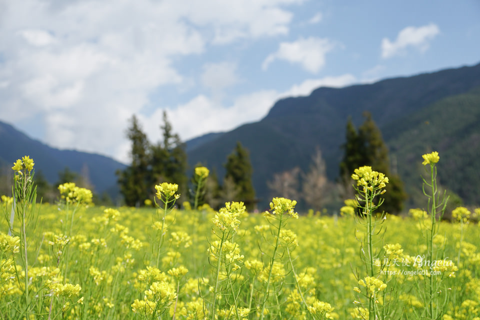 武陵農場油菜花