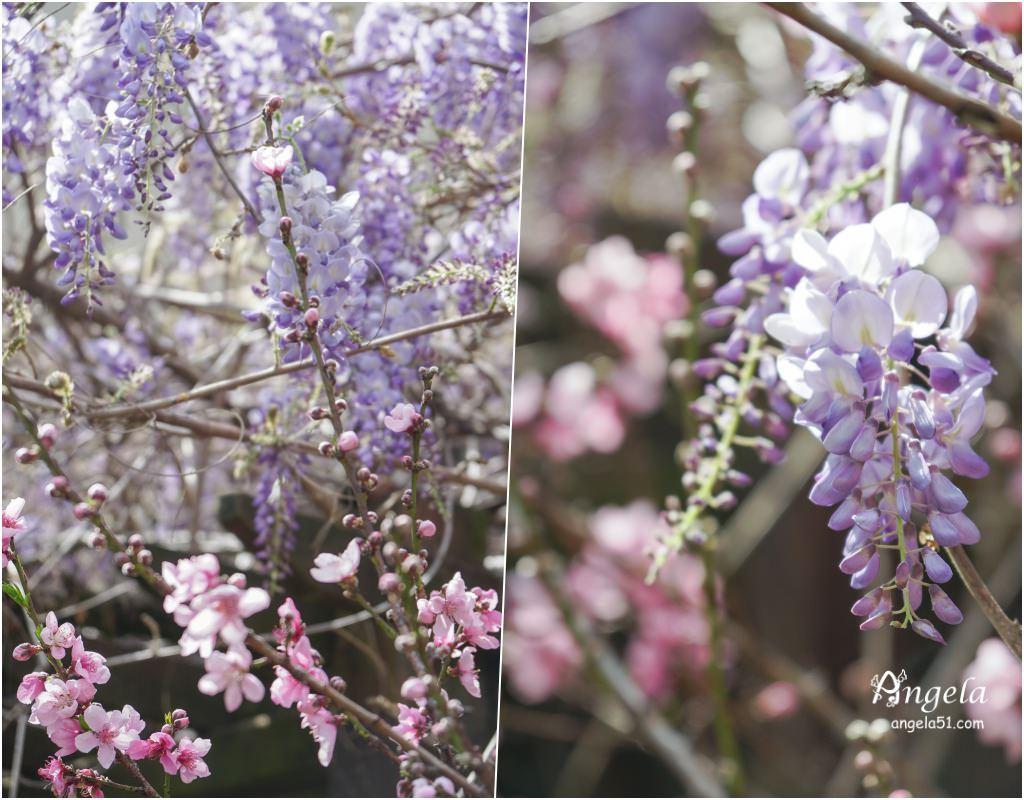 武陵農場紫藤花