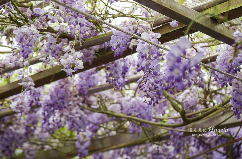 陽明山紫藤花