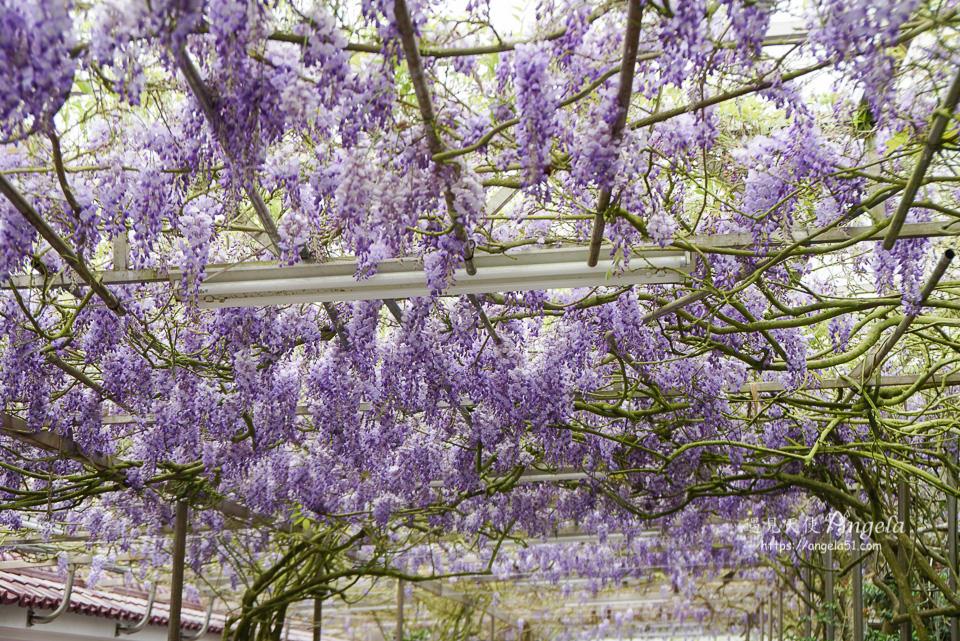 頂湖小鎮紫藤花