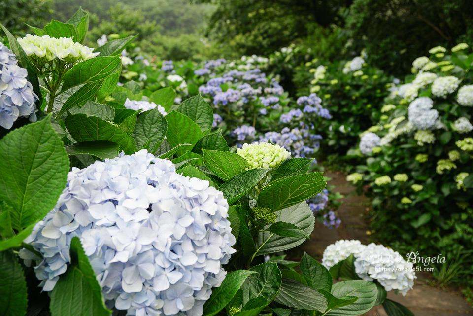 陽明山繡球花花與樹繡球花園