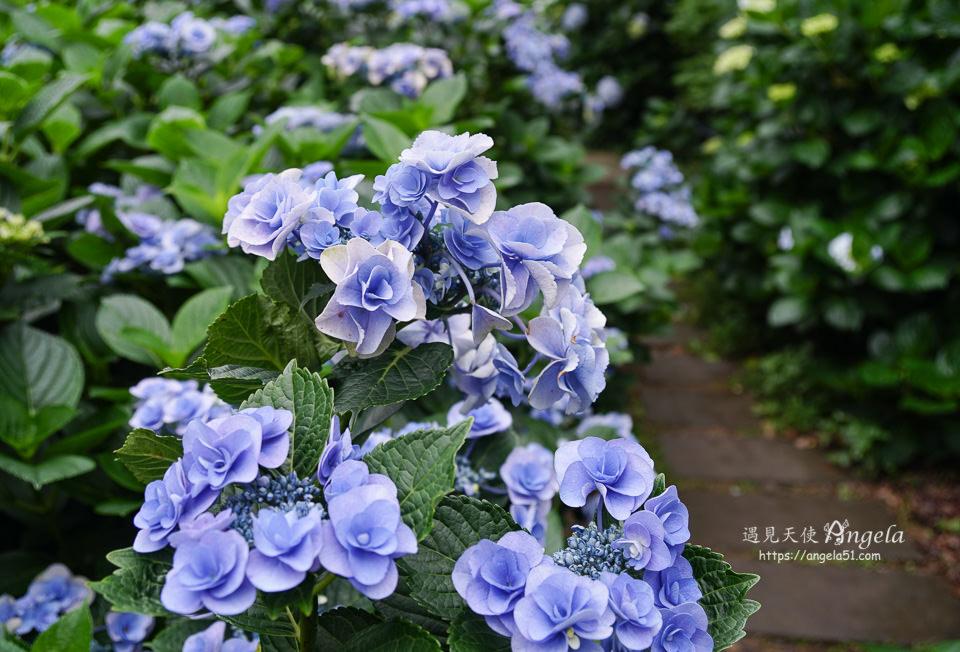 陽明山繡球花花與樹繡球花