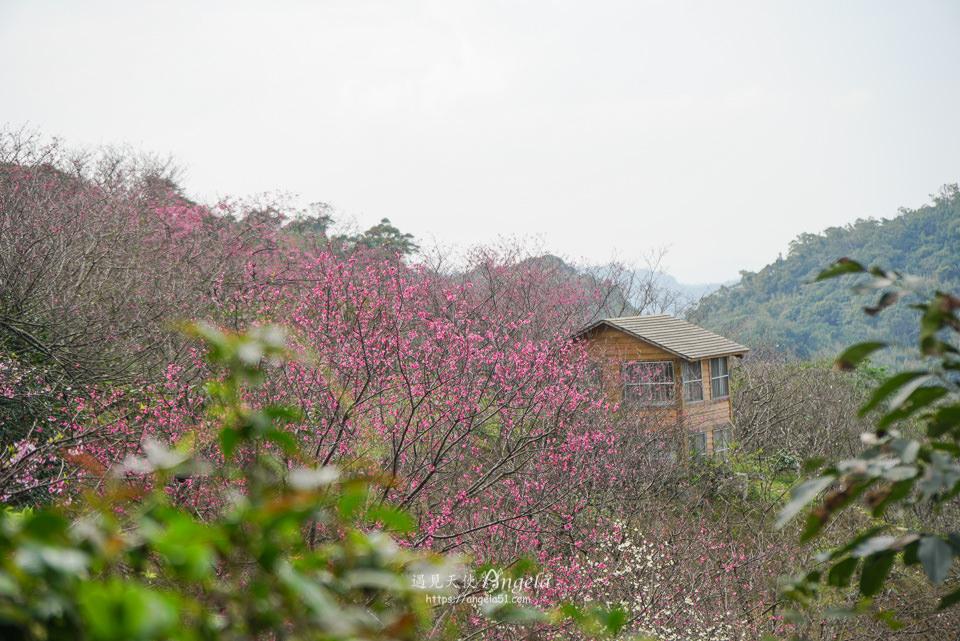 騰龍御櫻櫻花林
