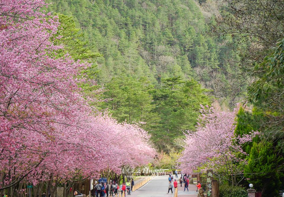 武陵農場櫻花季茶莊花況
