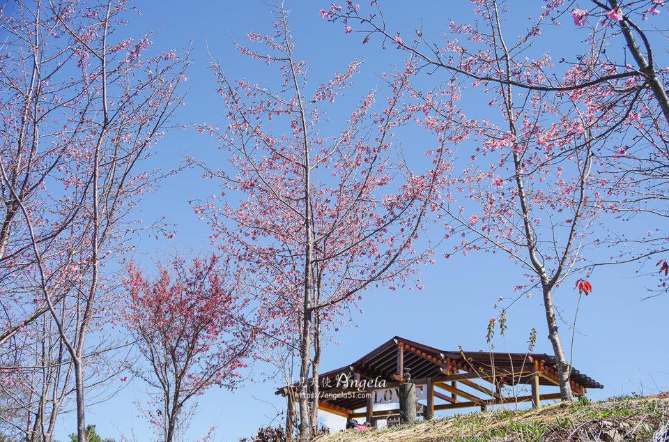 福壽山千櫻園櫻花花開了