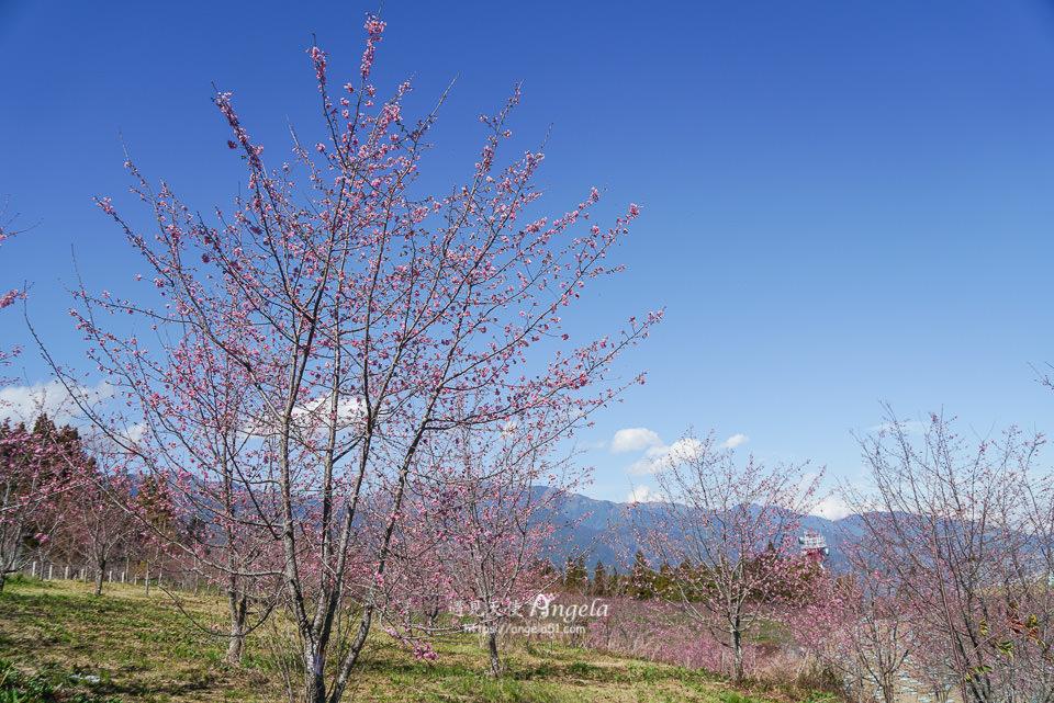 福壽山農場櫻花園