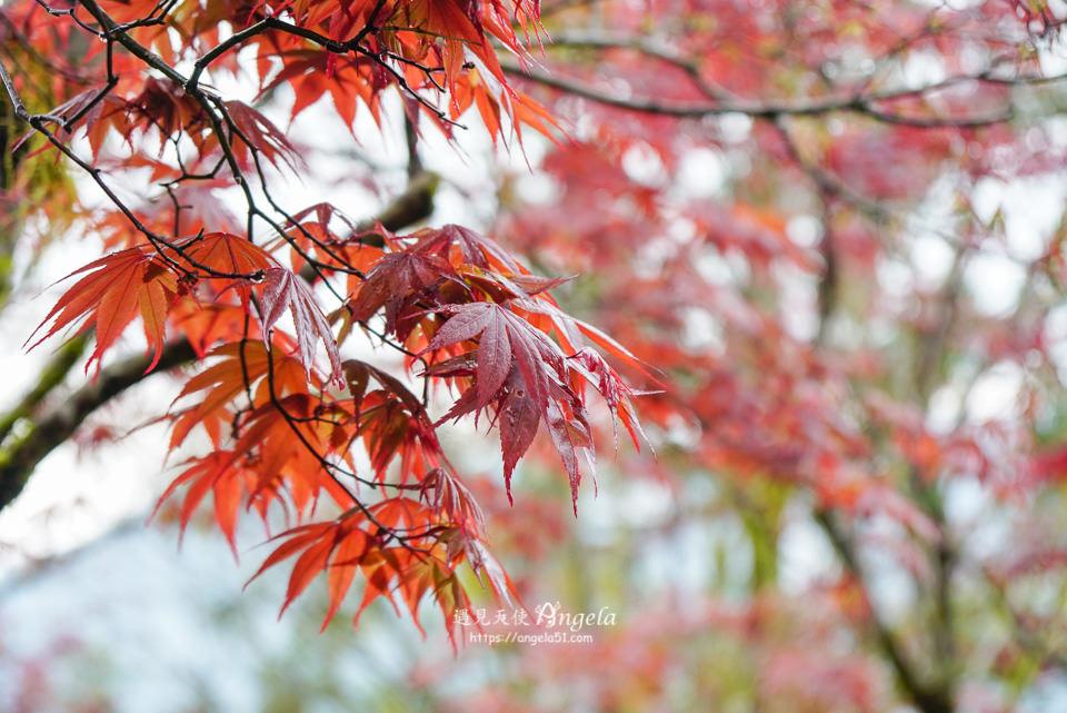 太平山楓葉