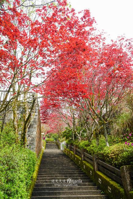 太平山紅葉紫葉槭