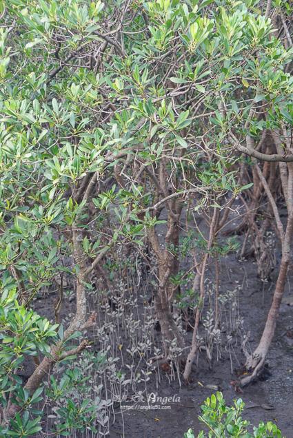 八里紅樹林