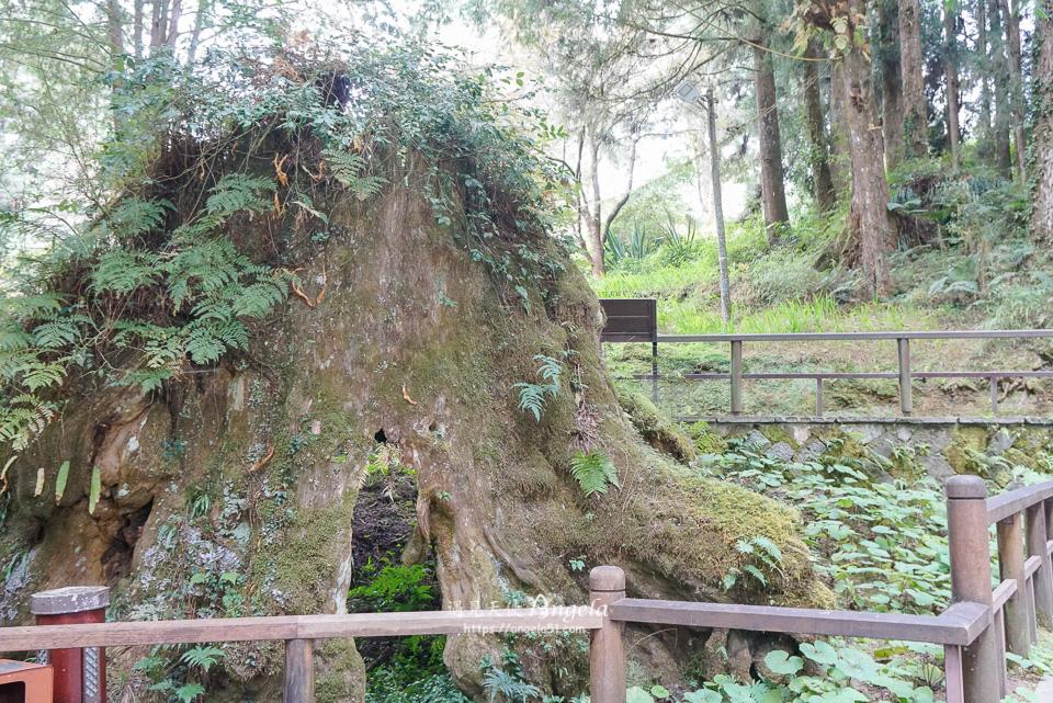 阿里山象鼻木