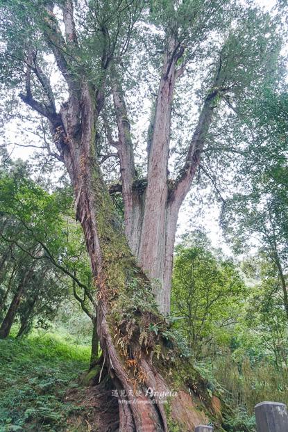阿里山巨木步道