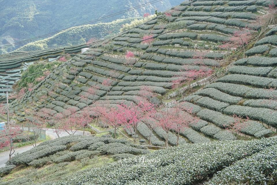 竹山八卦茶園櫻花