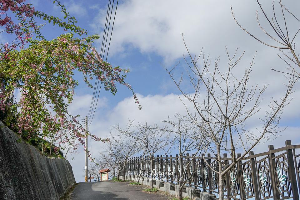 竹山八卦茶園櫻花開了