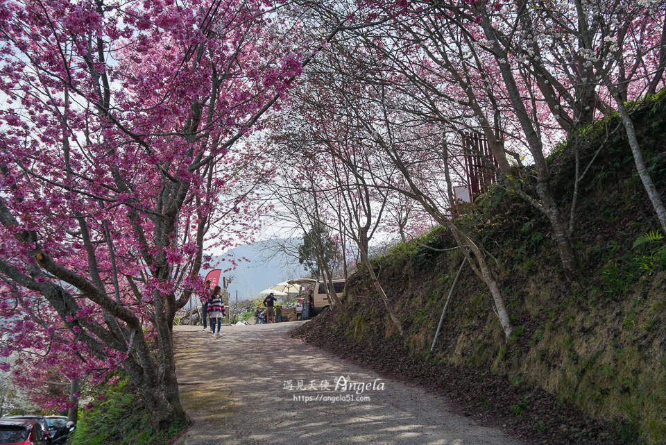 財伯觀光果園櫻花