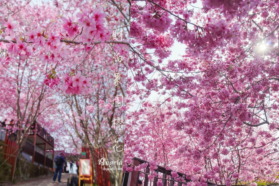 尖石櫻花財伯觀光果園櫻花