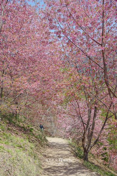 司馬庫斯櫻花