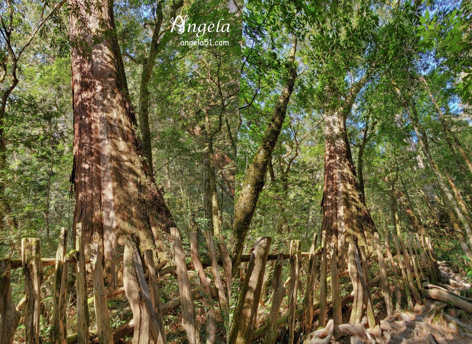 司馬庫斯巨木群神木