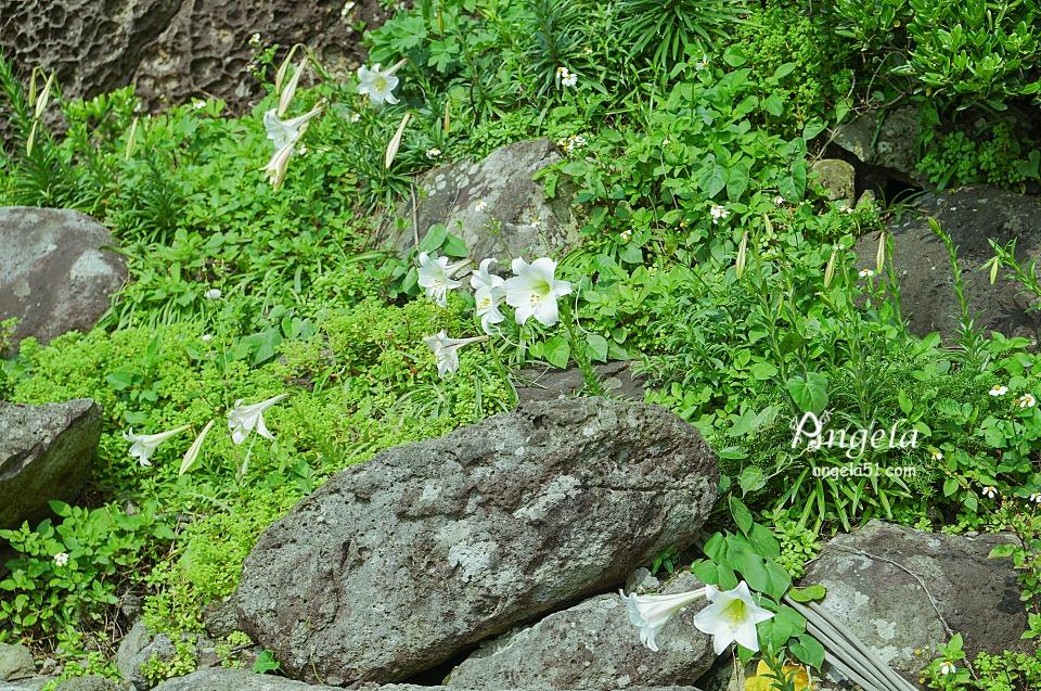 基隆嶼百合花季