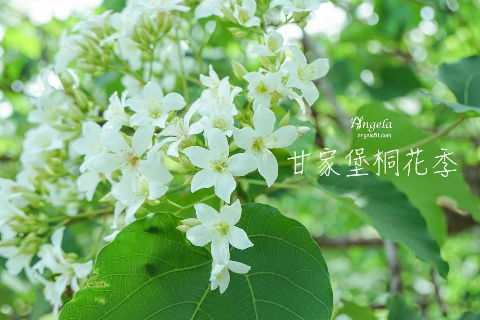 桃園賞桐秘境 龍潭甘家堡桐花季開放