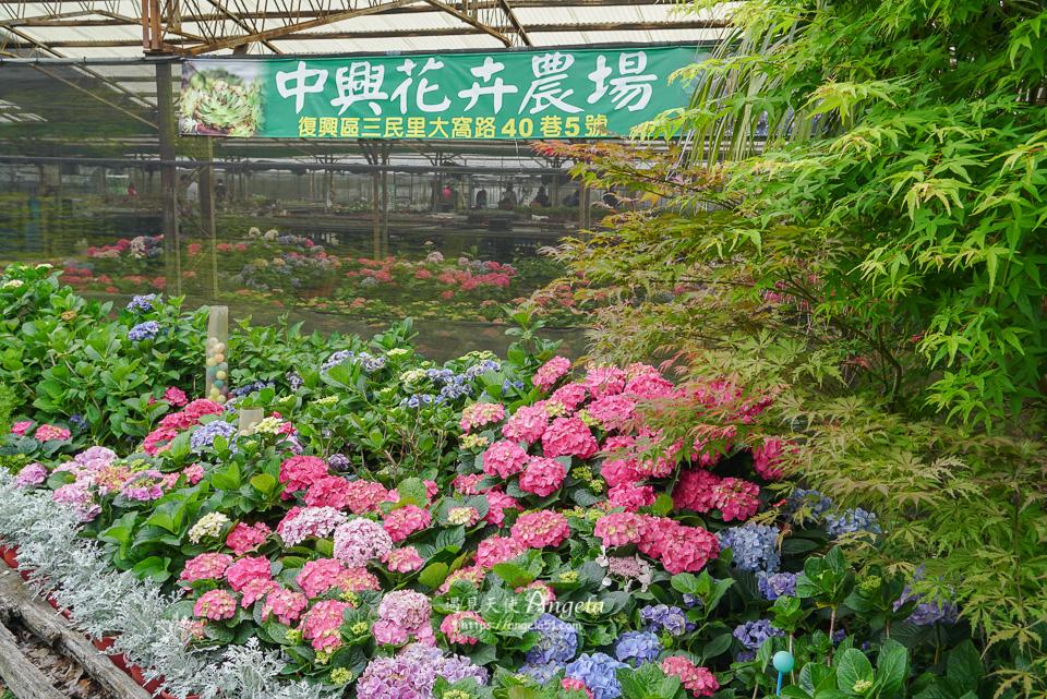 台7桃花源休閒農業區繡球花中興花卉農場