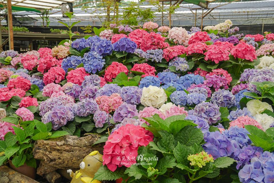 中興花卉農場繡球花