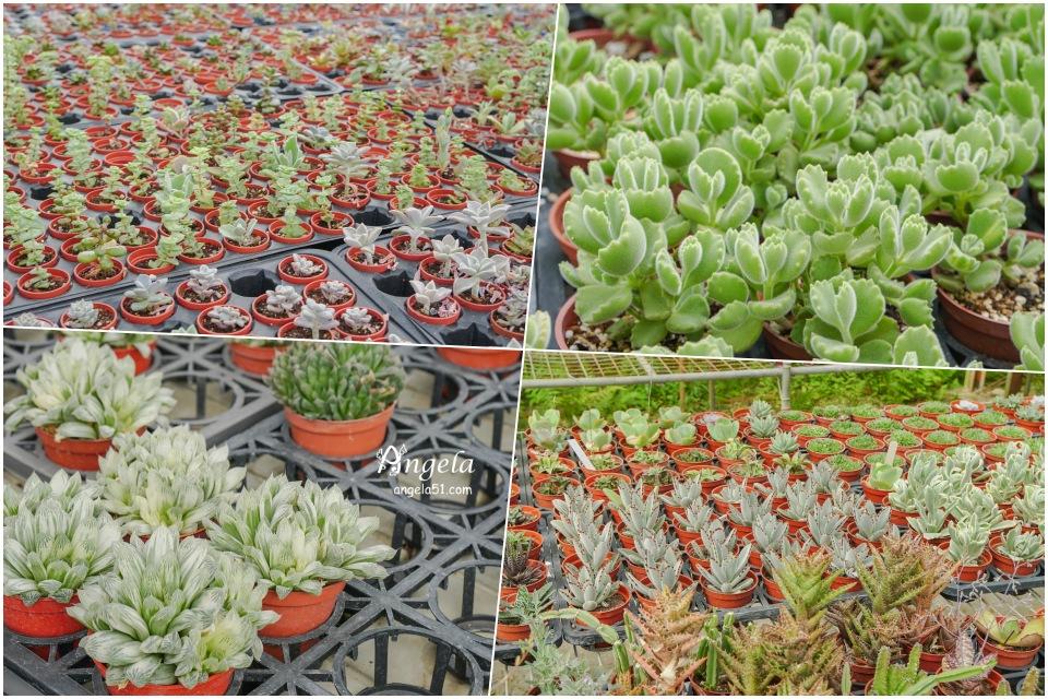 中興花卉農場多肉植物
