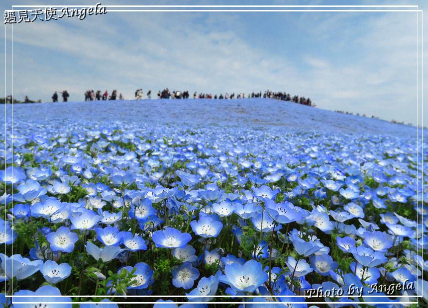日本粉蝶花